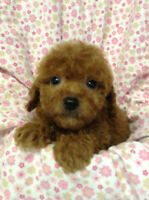 TOY YORKIE-POO  or  MALTESE - POO PUPPIES