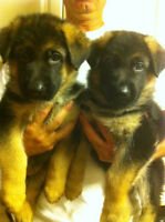 German Shepherd Puppies/ Titled parents