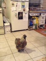 Need to rehome a hand-raised young Silkie Rooster (pet)