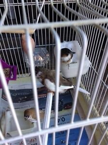 finches finch1 male 1 female and 1 baby 3 for 45$