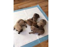 3/4 pugs ready 3 weeks only 1 boys left ... last chance