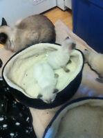 siemese kittens