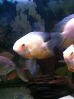 Gold Severums (tropical fish)