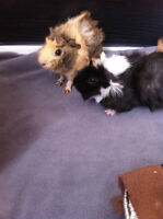 2 Male Guinea Pigs, to good home