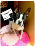 Boubba -  Male Boston terrier for adoption
