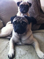 Adorable Purebred Fawn Pug Puppies.