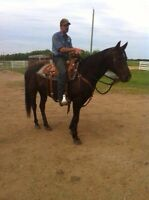 Well broke black gelding AQHA papered