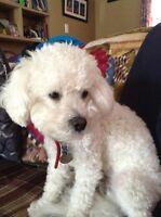 Reunited tonight with our lost male Bichon!!