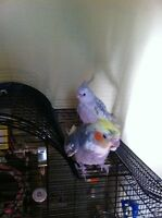 Male & Female Partner Cockatiels with Cage for Sale
