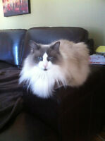 MISSING!!!  $200 REWARD for Cherished Ragdoll Cat
