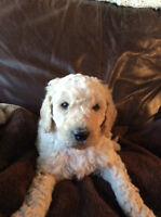 Standard Poodle Puppies ~ Family Raised