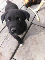 FEMALE LAB CROSS - SOHR RESCUE - LILA