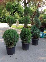 Six  7'  Topiatry Evergreen Trees