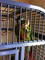 *REDUCED* Green Cheek Conure Parrot