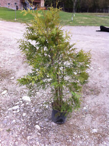 Cedar Trees - for hedging or fencing