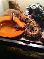2 BALL PYTHON SNAKES  ( male & female)
