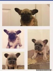 8 week old French bulldog puppies