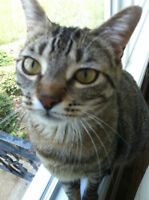 Adorable 2 year old Tabby Cat! - Free to good home!