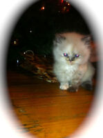 ~Pure Bred Himalayan Kittens~