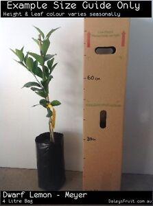 Dwarf Lemon - Meyer Grafted (Citrus limon) Fruit Tree Plant