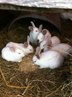 1 1/2 Months Old Rabbits