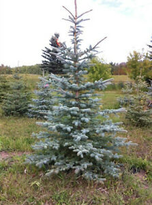Quality Basketed Blue Spruce