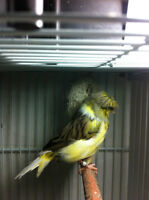 Fancy Gloster Canary for sale