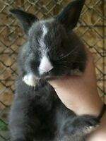 Flemish bunnies.