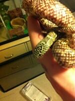 White cheek Florida brooks kings snake $35