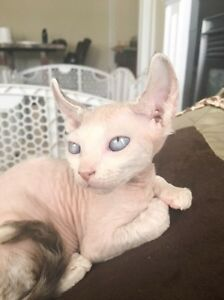 ***Bare It All Sphynx and Elf Cattery Has Babies***