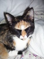 FREE ! CALICO 1 YEAR OLD FEMALE TO GREAT HOME ONLY!!