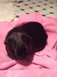 1 male guinea pig for sale with cage Wahroonga Ku-ring-gai Area Preview