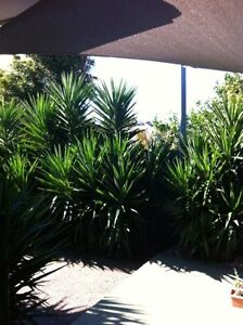 Yucca Plants For Sale Garden Large Medium & Small Mentone Kingston Area Preview
