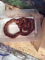 Adult female hypo corn snake