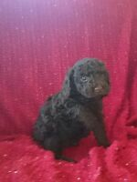 CHOCOLATE AND RED MINI TOY POODLE PUPPIES