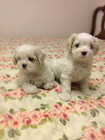 Potty trained Shih poo puppies for sale!