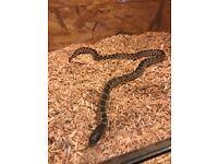 Pair king snakes