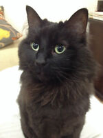 Black cat with Siamese traits for adoption to right home