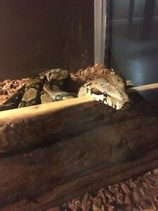 Beautiful BOA CONSTRICTOR forsale London Ontario image 2