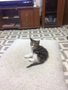 FREE.  Lovely calico kitten