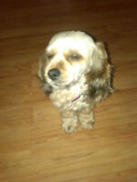 Tibetan terrier -great dog looking for new home