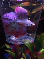 Colourful double tail halfmoon male betta for sale