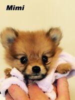 Chiots poméraniens / pomeranien puppies
