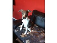 Pure pedigree kc whippet for sale