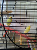 Two Budgies, Cage, Food and Toys
