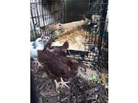 Rode island red chickens free to a good home