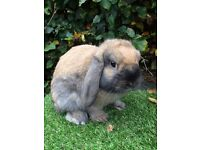 Gorgeous Mini Lop Buck