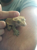 Gecko with all you need included