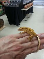 Bb crested gecko