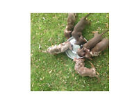 Miniature Dachshunds Chocolate and Dapple Puppies